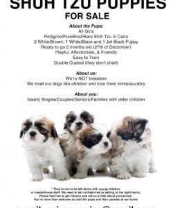 shih tzu puppies for sale flyer & info puppies for sale flyer template doc